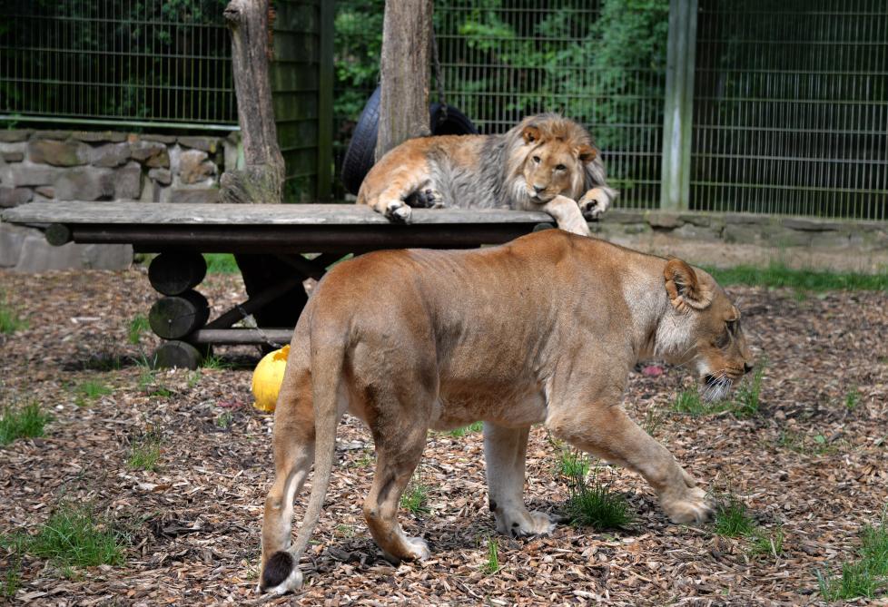 Allemagne : cinq félins s'échappent brièvement d'un zoo avant d'être capturés