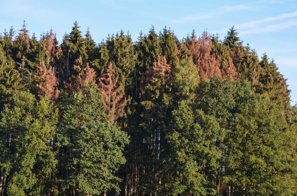 Ardenne: le scolyte infeste les épicéas - Le Soir Plus