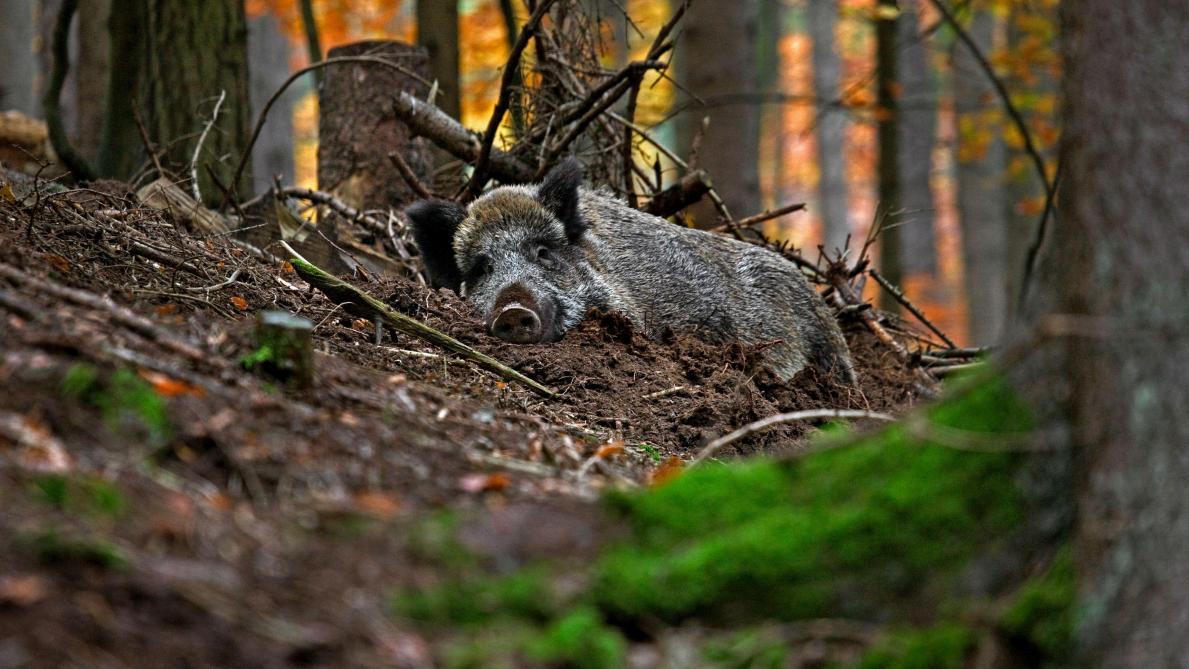Deux cas de peste porcine africaine confirmés en Belgique