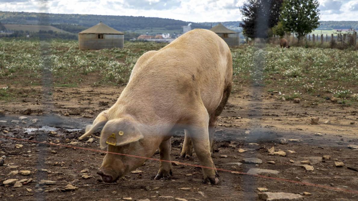 De nouvelles aides dans le cadre de la peste porcine? - Le ...