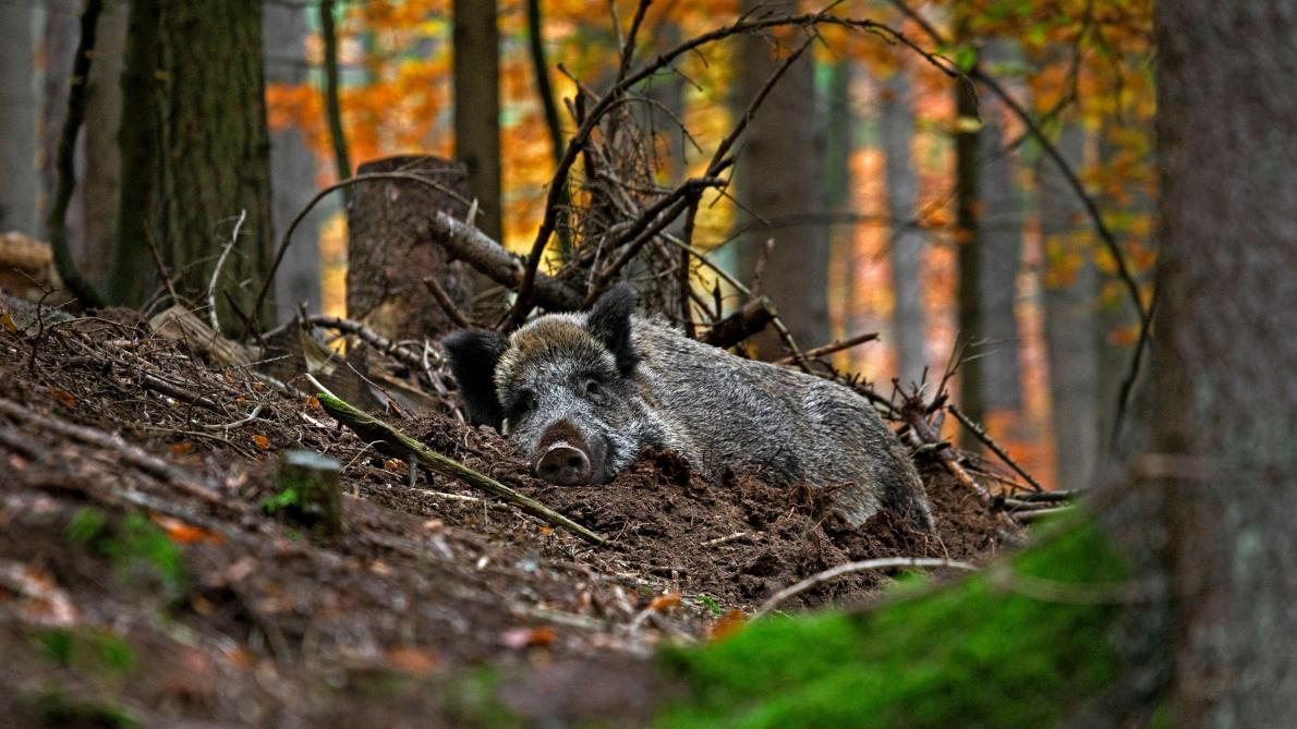 Peste porcine: deux des cadavres de sangliers découverts au camp ...