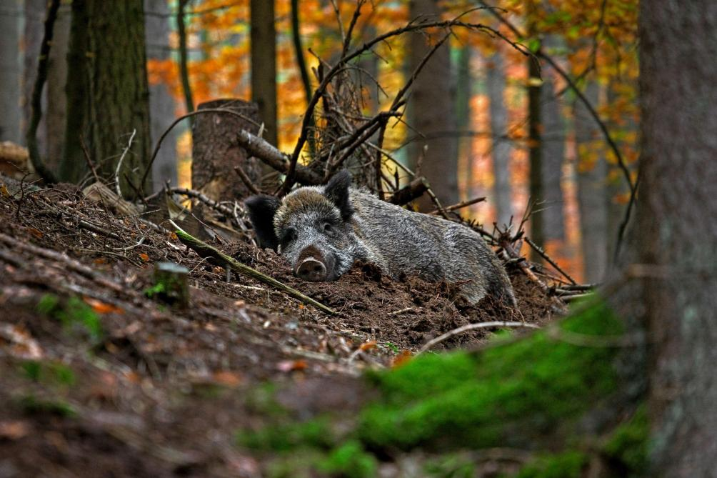 Peste porcine africaine: un record de plus de 35 000