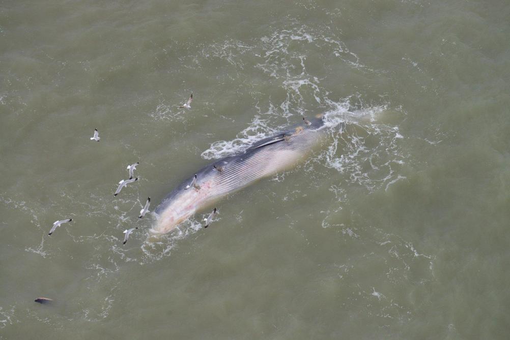 Une baleine échouée sur la plage du Coq