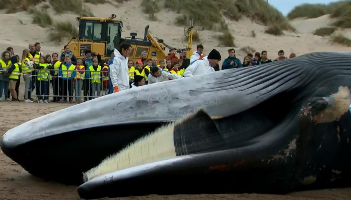 Une baleine de 18 mètres s'échoue sur une plage — Belgique