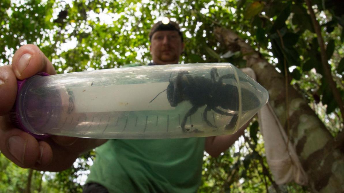 """Résultat de recherche d'images pour """"Indonésie: la plus grosse abeille du monde retrouvée"""""""
