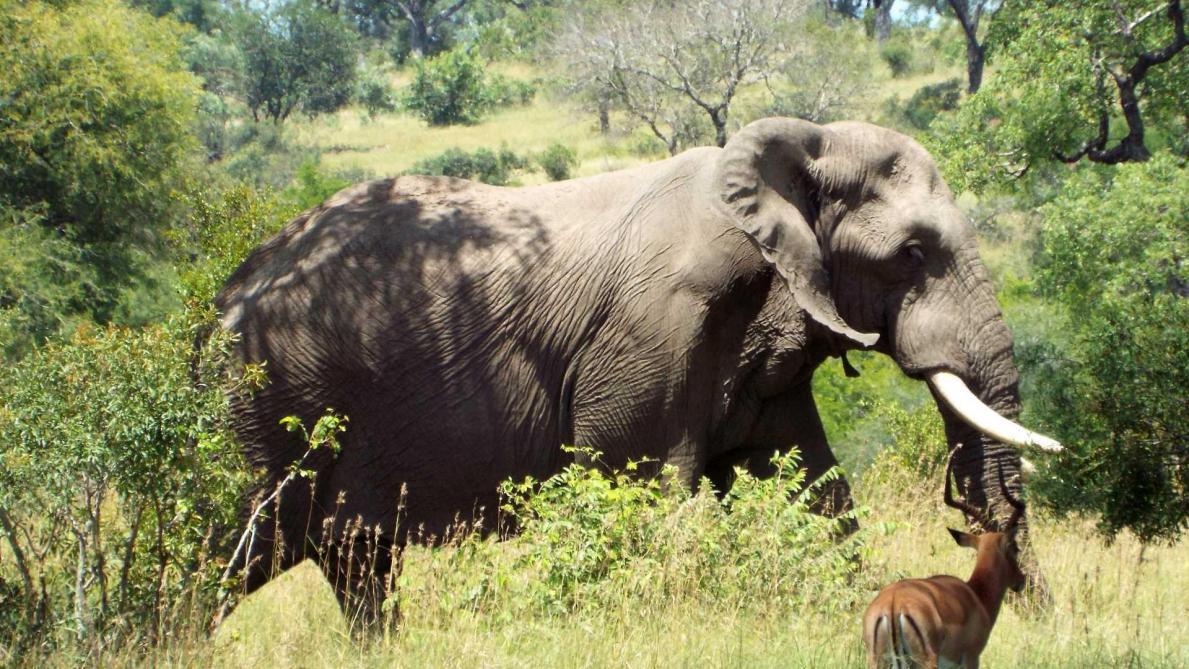 Un braconnier tué par un éléphant puis dévoré par des lions