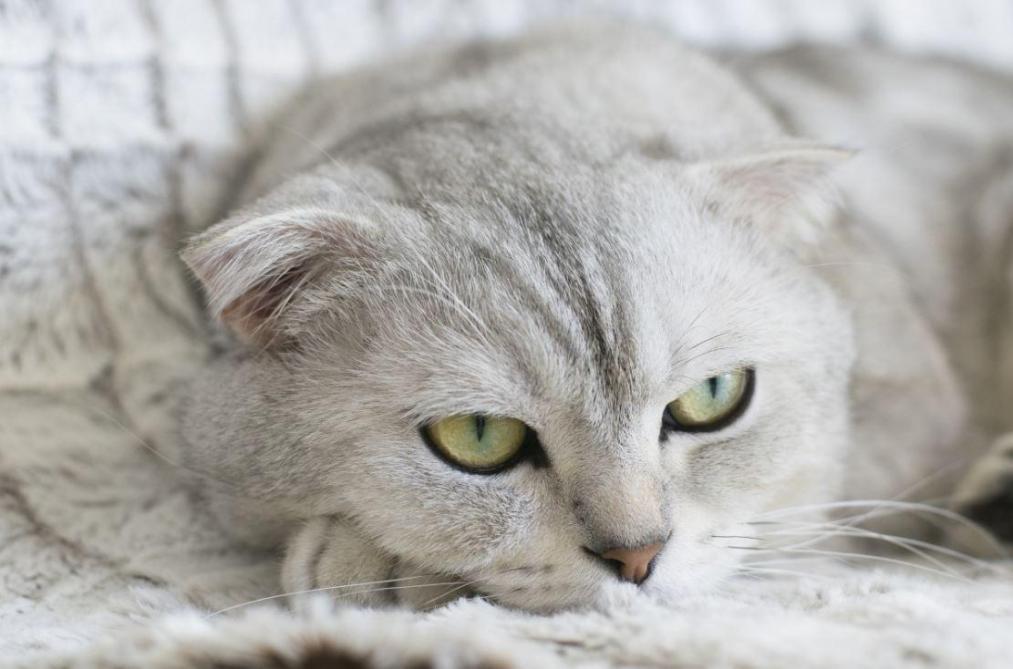 Les chats hybrides et «Fold» seront interdits à Bruxelles