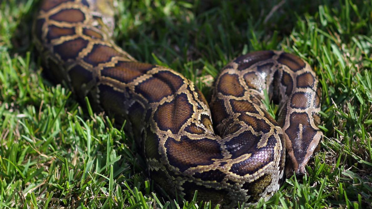 Découverte d'un serpent à trois yeux — Australie