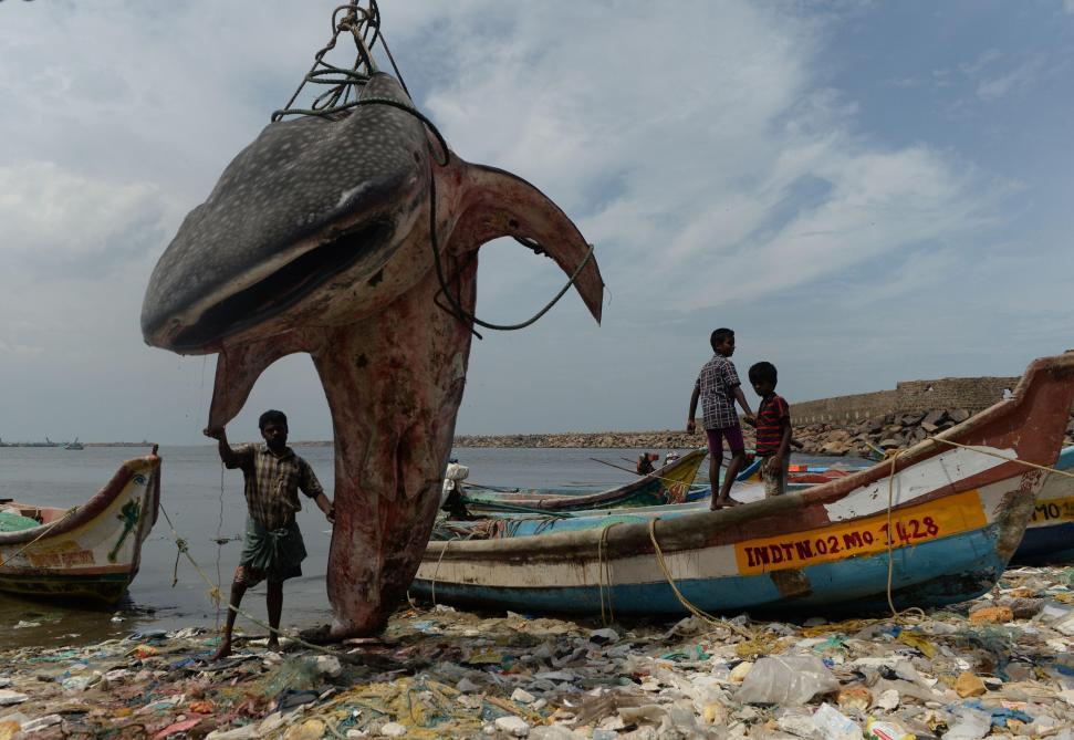 Les images impressionnantes d'un requin-baleine échoué en Inde