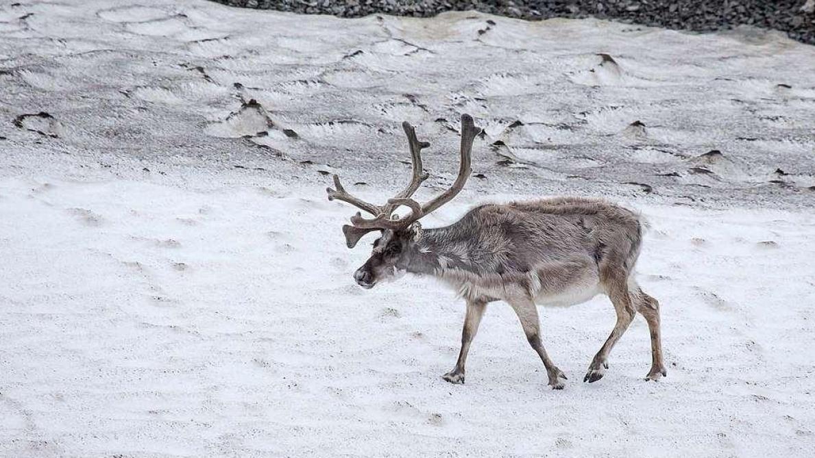 200 rennes découverts morts de faim — Arctique