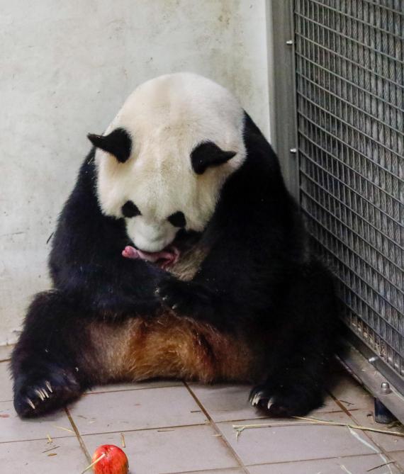 Découvrez les premières images des bébés pandas de Pairi Daiza