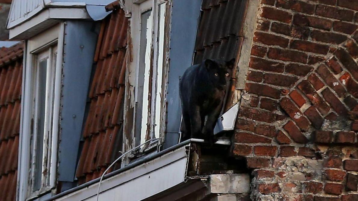 Garde à vue levée pour le propriétaire présumé — Panthère d'Armentières