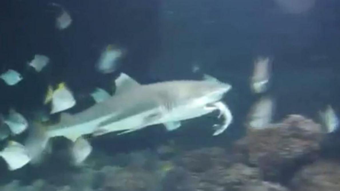 Un requin du zoo d'Anvers en dévore un autre devant des visiteurs (vidéo)