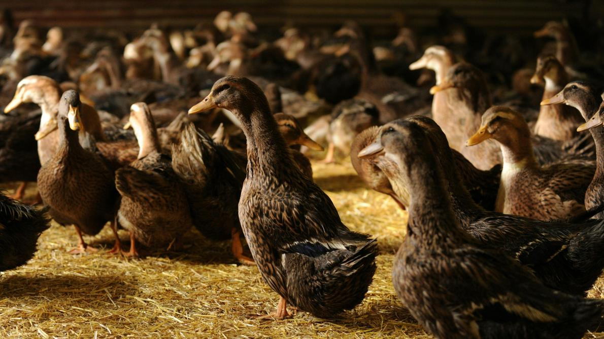 Plus de 180 canards sont morts à la suite de l'action d'Animal Resistance