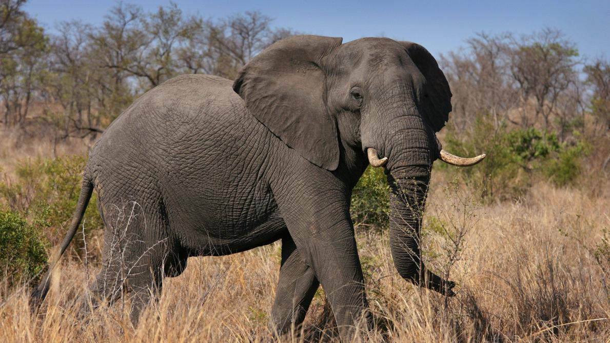 Sans action urgente, l'éléphant d'Afrique disparaîtra dans ...