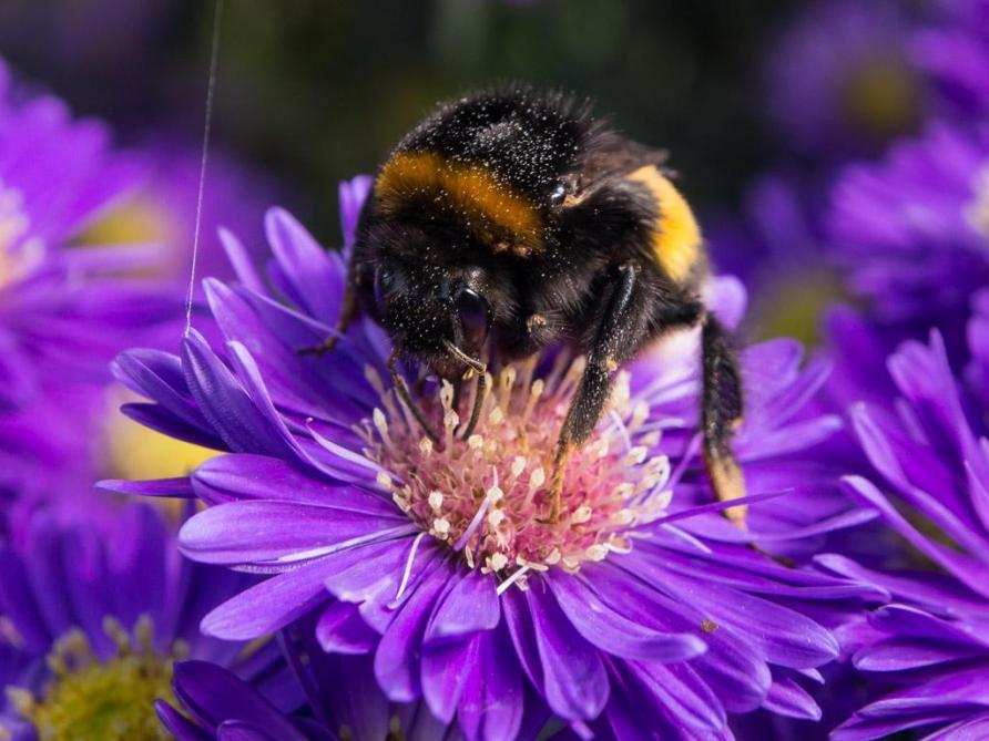 Une espèce d'abeille sauvage sur deux est menacée