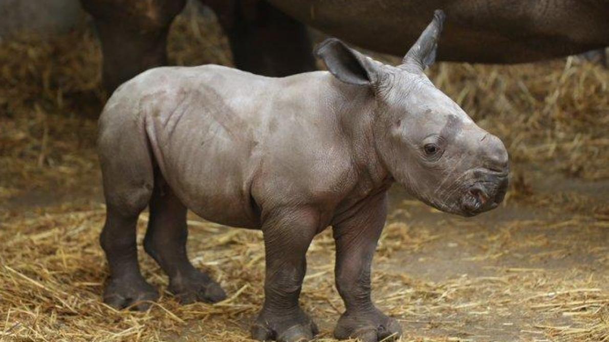 Un deuxième rhinocéros blanc est né à Pairi Daiza (vidéo)