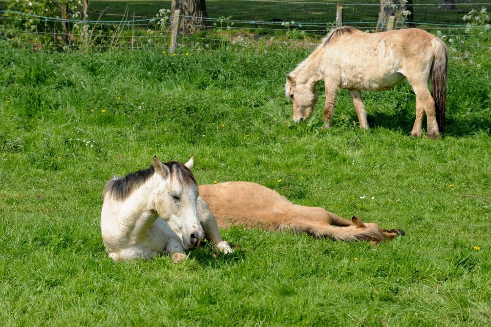 Un cas de mutilation de cheval en Belgique