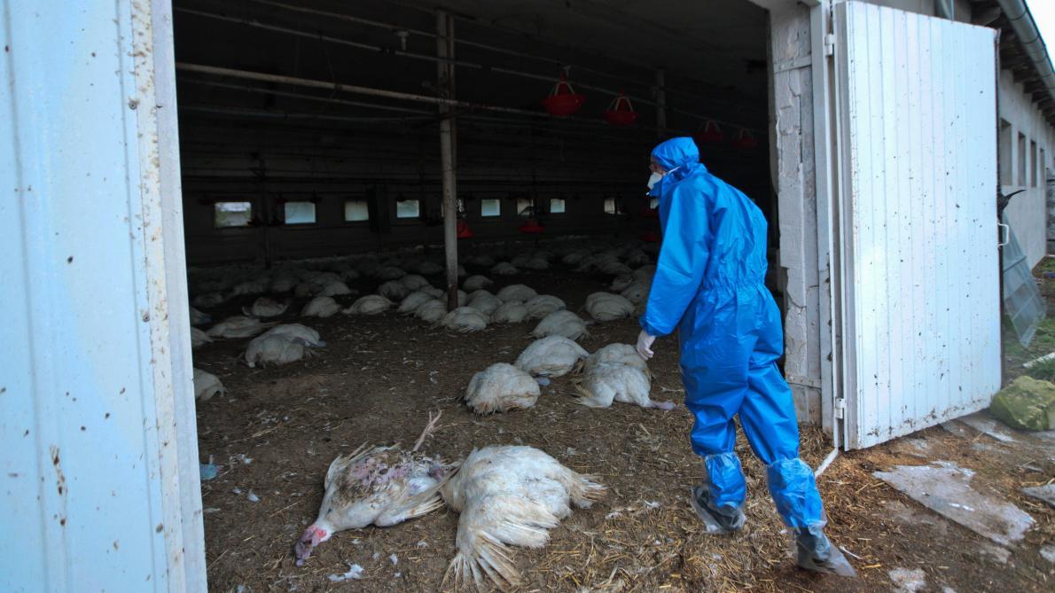 Grippe aviaire H5N8: la Russie dit avoir détecté le premier cas de transmission à l'humain - Le Soir
