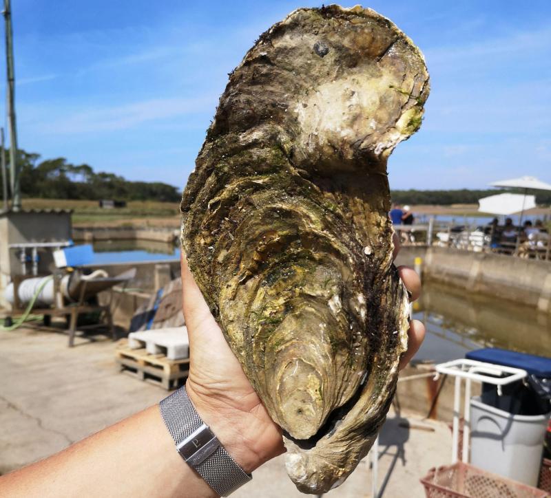 Une huître géante de 1,4 kilo a été baptisée Georgette — Découverte