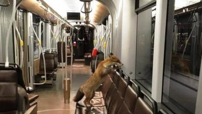 Photo d'un renard dans un tram de la Stib: une vraie photo, mais qui date de 2017