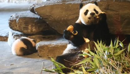 Patinoire géante, marché gourmand, pandas…: Pairi Daiza ouvre ses portes pour la première fois en hiver (photos)